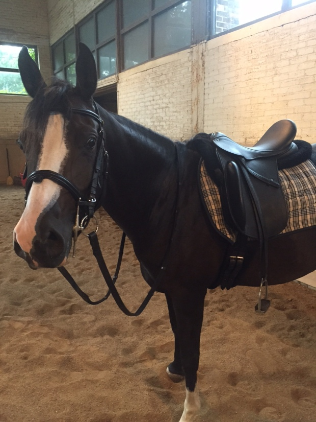 Dressage is hard even in a fancy County saddle says Nibbles.